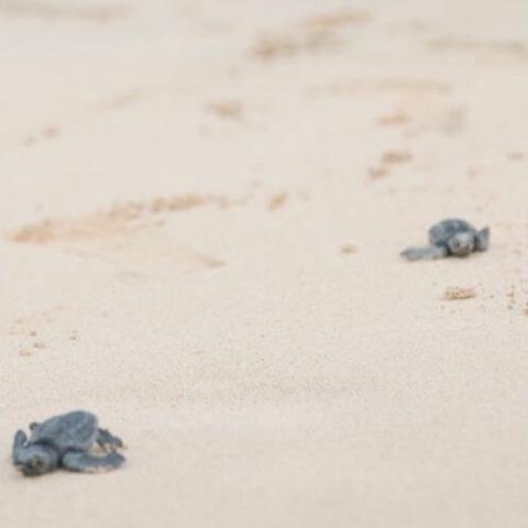 cape verde schildkröte