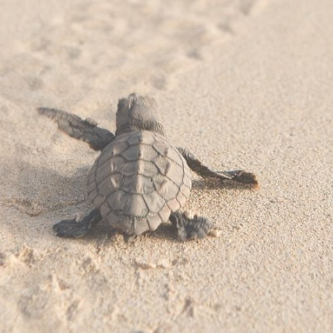 cape verde turtle